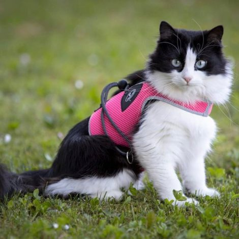 Arnés tipo chaleco para gatos